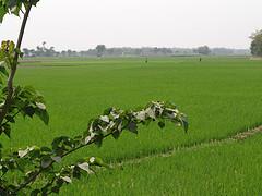 112977671_9a8ef9f4b9_m - Rice Field by Nanda Sunu