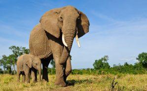 A_mother_elephant__3081702b